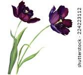 Purple Tulip Isolated On White...