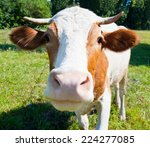 curious cow on the meadow in... | Shutterstock . vector #224277085