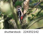 a juvenile great spotted... | Shutterstock . vector #224352142