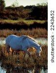 wild horse in camargue | Shutterstock . vector #2243652
