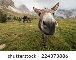 Curious Donkey In Dolomites ...
