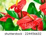 Red Anthurium Flower Close Up