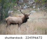 A large bull North American elk standing in an open meadow during the rut in Rocky Mountain National Park in Colorado. - stock photo