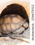 Small photo of Name: Reptilia Chelonia Testudinidae Geochelone Sulcata