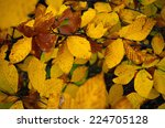 Leaves Of Fagus Sylvatica In...