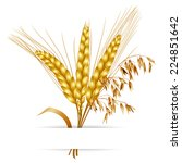 ears of barley  wheat and oat | Shutterstock . vector #224851642