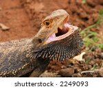 Angry Bearded Dragon  Sturt...