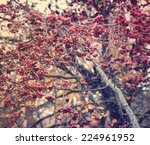 Autumn Red Berries On Branches