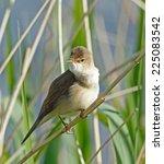 reed warbler | Shutterstock . vector #225083542
