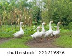 Flock Of White Domestic Geese...