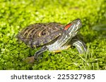 Red eared slider - Trachemys scripta elegans, Turtle head portrait in nature enviroment