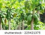 Fresh Papaya Tree With Bunch Of ...