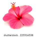 Pink Hibiscus Isolated On White ...