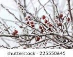 Hawthorn Berries Under Heavy...