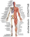 anatomical body  human skeleton ... | Shutterstock . vector #225637768