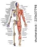 anatomical body  human skeleton ... | Shutterstock . vector #225637798
