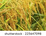 Close Up Of Golden Rice Ears...