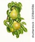Three Yellow Pears On A Branch...