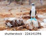 Blue Footed Booby At Galapagos...