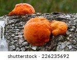 Cinnabar Polypore  A...