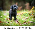 A Pure Bred Black Labrador...