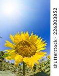 sunflower field under sunlight | Shutterstock . vector #226303852