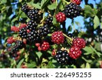 Huge Torn Free Blackberries...