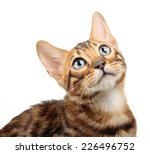 Stock photo cat isolated on white background bengal kitten 226496752