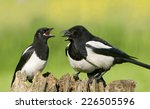 European Magpies  Pica Pica ...