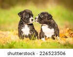 Stock photo two american staffordshire terrier puppies sitting on the leaves in autumn 226523506