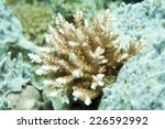 Small photo of Beautiful Hard Coral (Acropora cytherea)