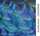 peacock feather closeup | Shutterstock . vector #226600666