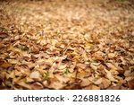 Dry Golden Brown Leaves On The...