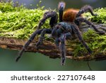 Greenbottle Blue Tarantula On...