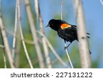 Red Winged Blackbird Perched I...