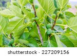 Green Fig Fruits On Branches...