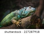 Close Up Of Green Iguana