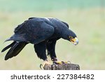 Verreaux's Eagle  Aquila...