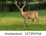 Deer On A Background Of Wild...
