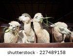Llama Alpacas Eating Ruzi Gras...