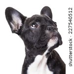 Stock photo portrait of a french bulldog puppy isolated on a white background 227540512
