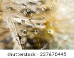 Dandelion Seeds With Water...