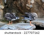 adorable ducks are cleaning... | Shutterstock . vector #227707162