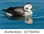 A Female Long Tailed Duck Is...