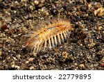 Small photo of Bristle worm (Polychaeta) moving along sandy bottom of coral reef at night