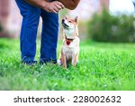 a young shiba inu pay attention ... | Shutterstock . vector #228002632