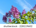 A Branch With Spring Lilac...