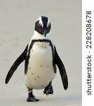 Walking African Penguin ...