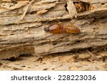 Termite On Rotten Wood  With...