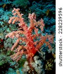 Small photo of Pink delicate soft coral (Dendronephthya, Alcyonacea) at Elphinstone